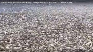 Назвали наиболее вероятные причины массовой гибели рыбы на Сахалине